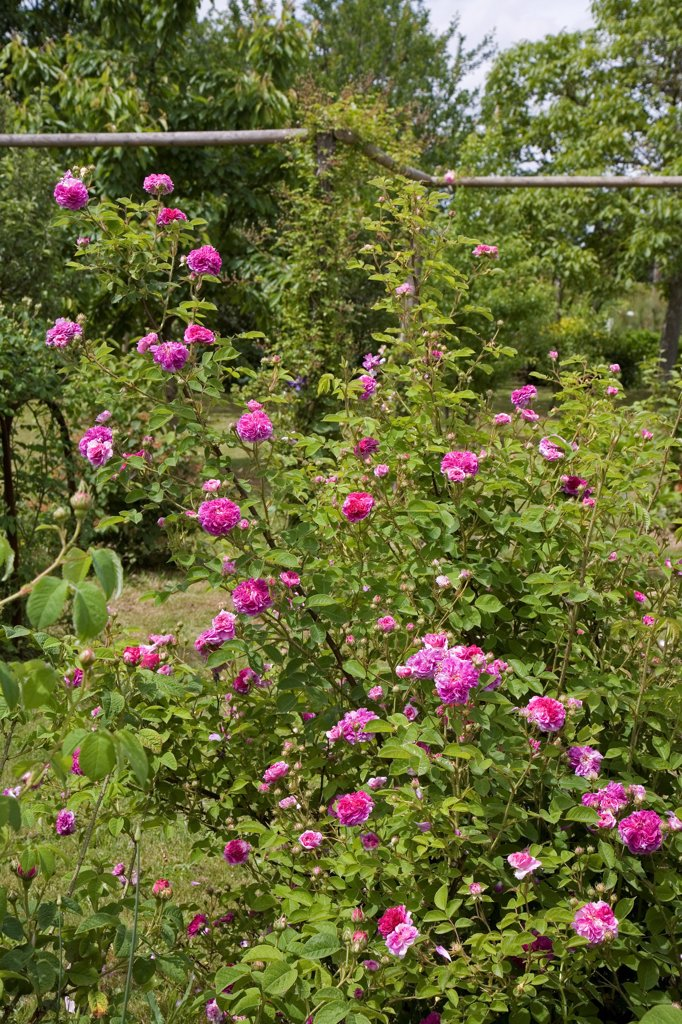 Stock Photo: 4413-207432 Rose 'Russelliana' in May France