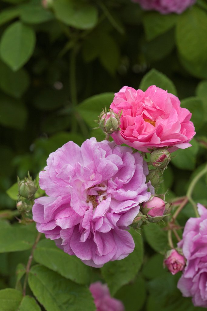 Stock Photo: 4413-207550 Rose 'Seven Sisters' in May France