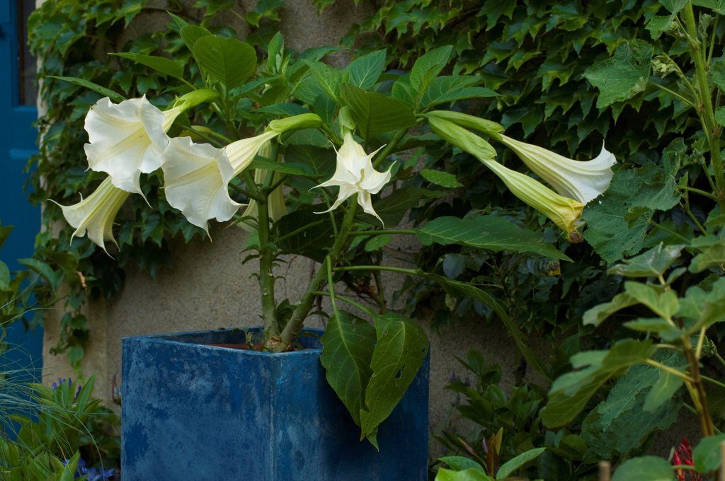 Stock Photo: 4413-209032 Datura in bloom on a garden terrace