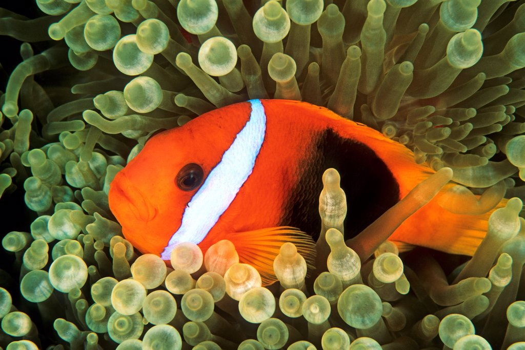 Stock Photo: 4413-209597 Anemonefish swimming in anemone Oceania