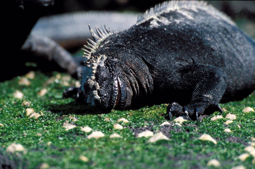 Marine iguana grazing green algae Galapagos : Stock Photo