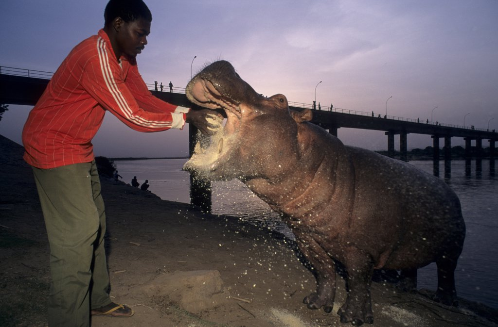 Man giving to eat with an Hippopotamus Cameroun : Stock Photo