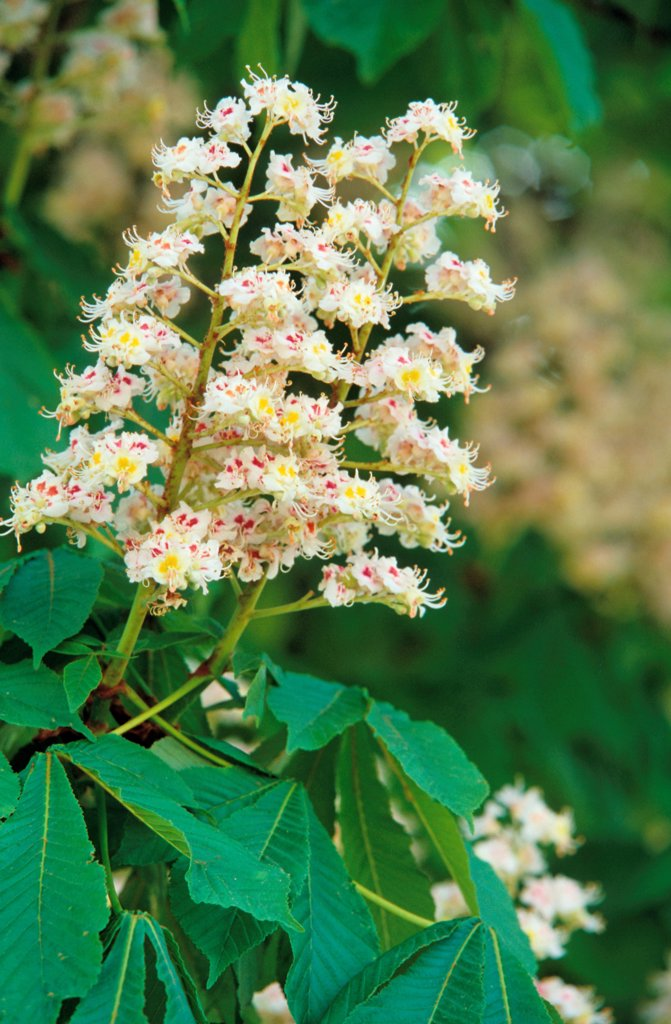 Stock Photo: 4413-21697 Flowers of Horse chestnut tree