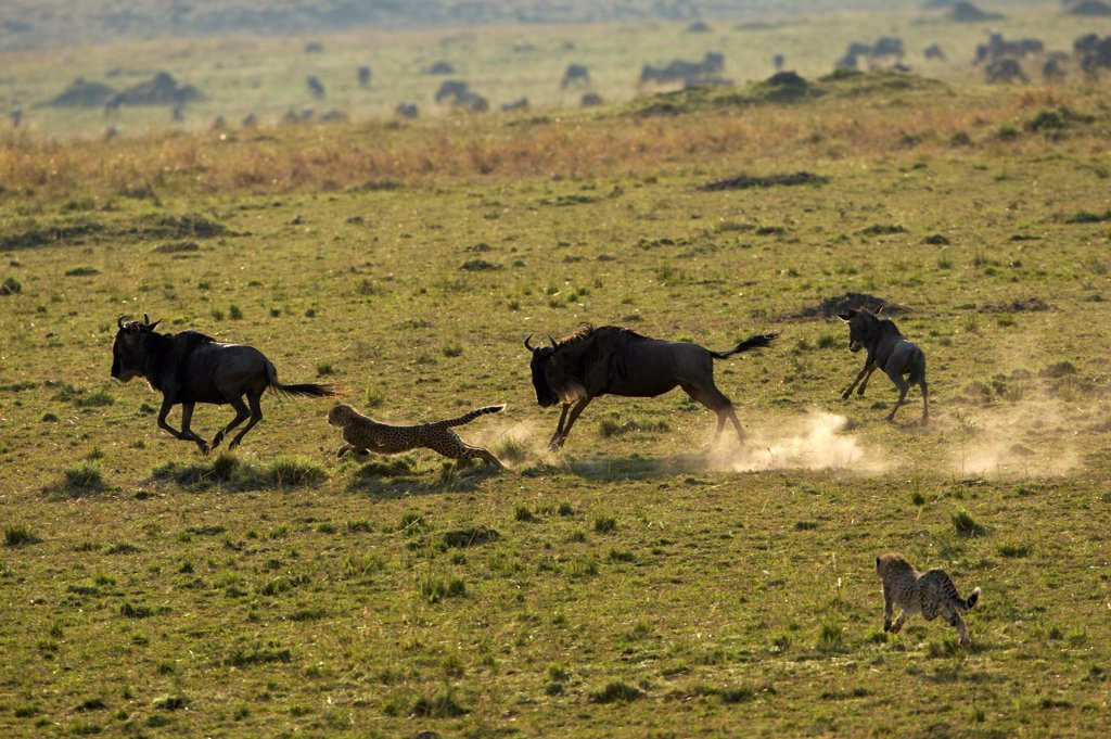 Stock Photo: 4413-228778 Cheetahs attacking a Wildebeest and his calf Masai Mara