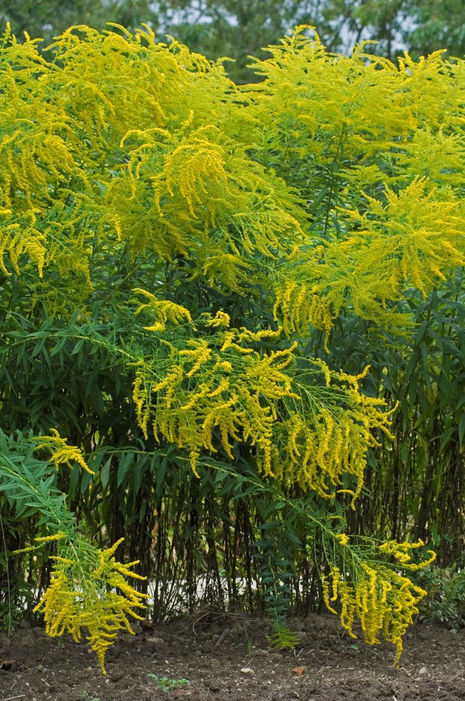 Stock Photo: 4413-231801 Goldenrod in bloom in a garden
