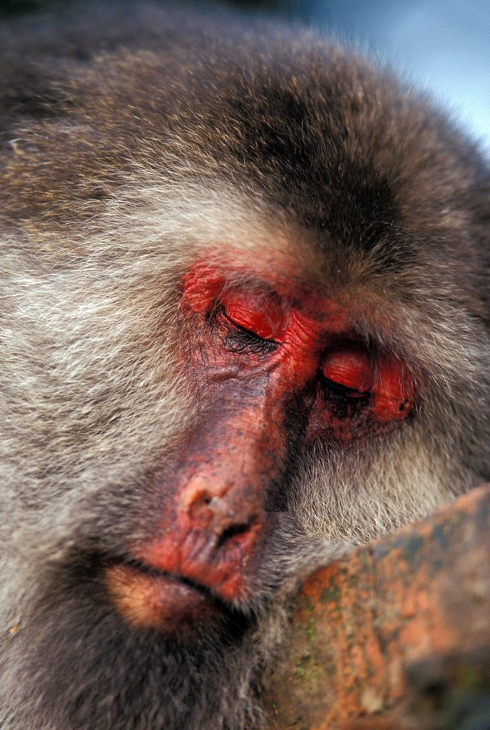 Female Tibetan Macaque asleep in Mount Emei China : Stock Photo