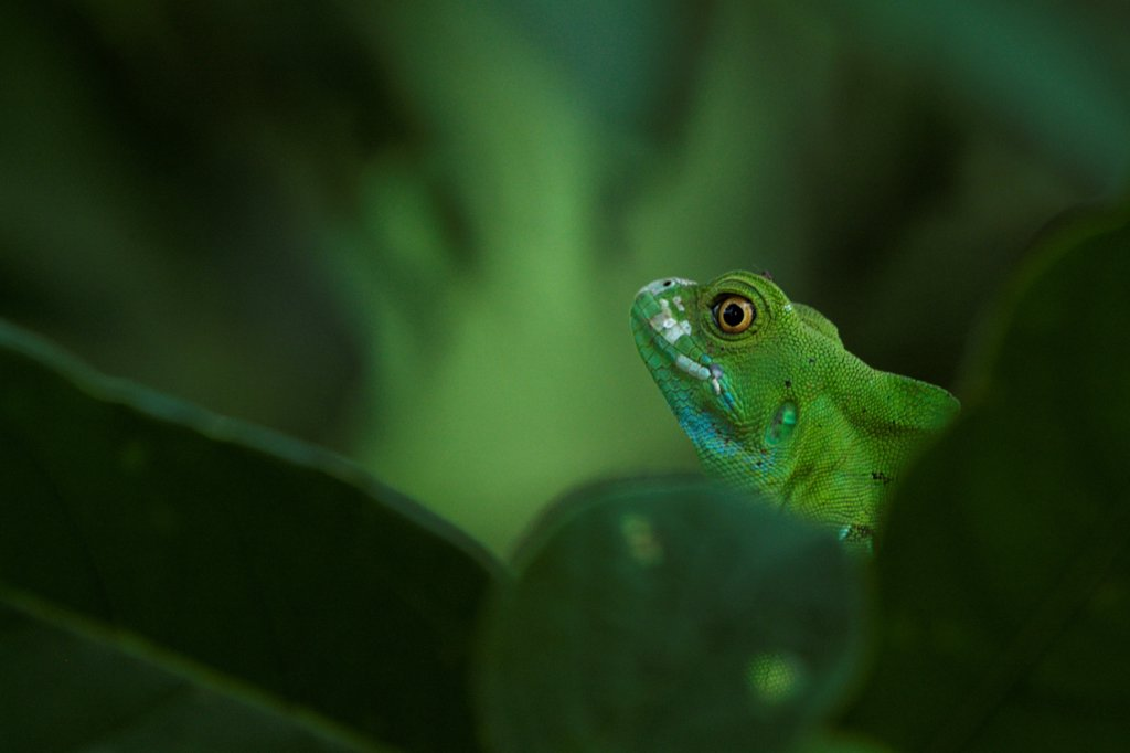 Female Green Basiisk camouflaged in green leaves Costa Rica : Stock Photo