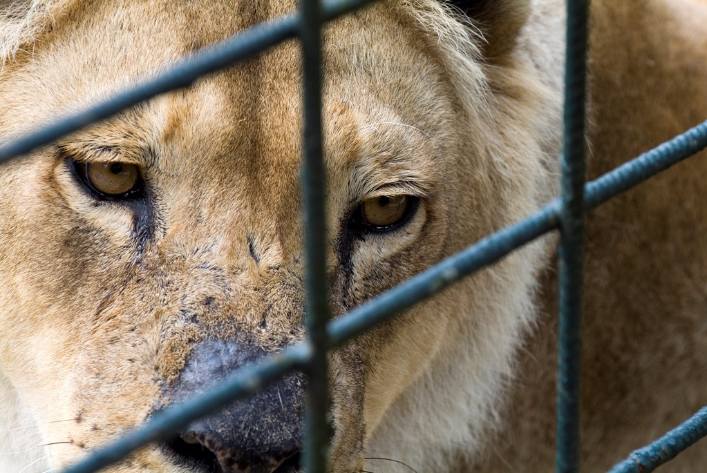 Stock Photo: 4413-233061 Portrait of a Lion in cage to air unfortunate France