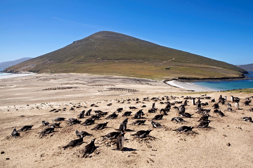 Stock Photo: 4413-233721 Gentoo penguins colonies on a beach in Falkland Islands