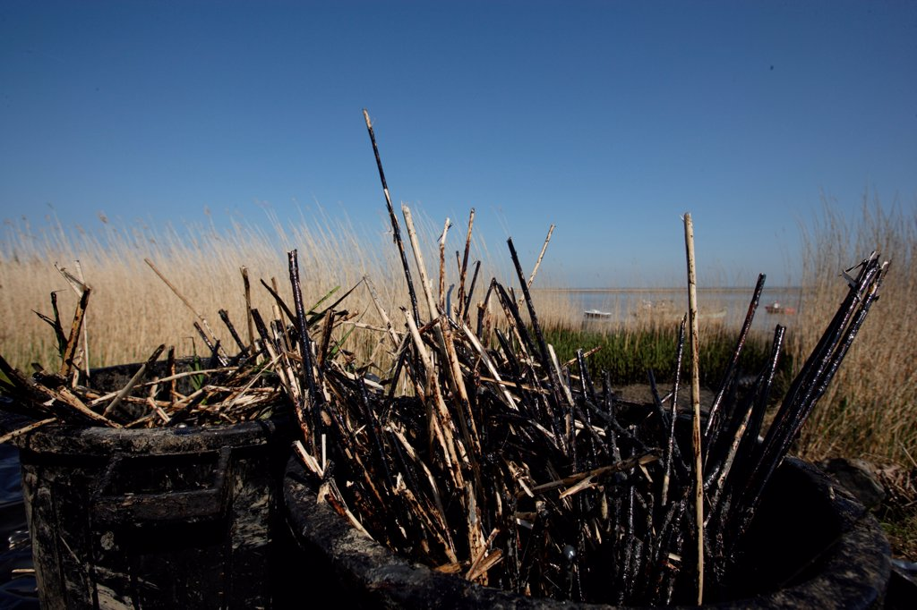 Stock Photo: 4413-234367 Oil pollution on reed bed of Loire river estuary