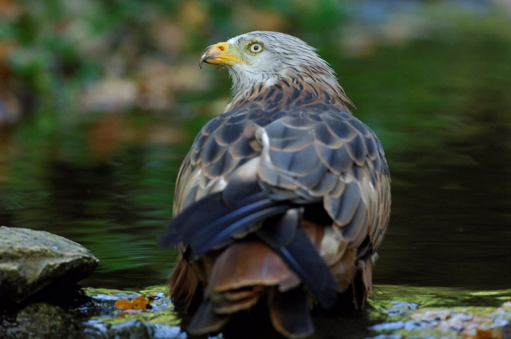 Portrait of Egyptian Kite bathing its legs Sainte-Croix zoo : Stock Photo