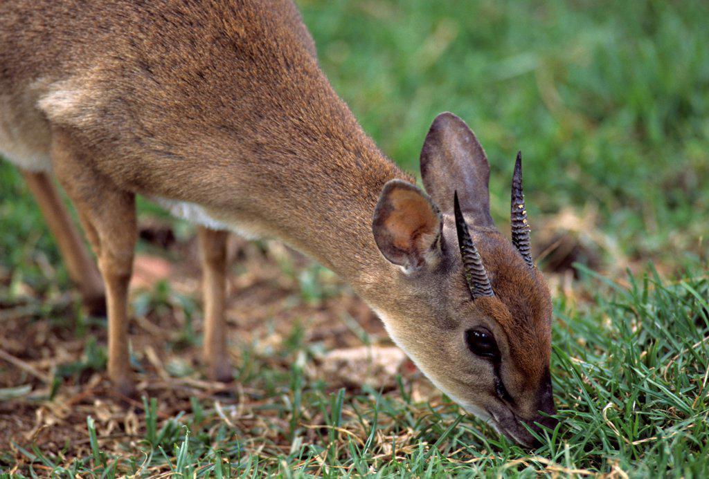 Stock Photo: 4413-25752 Suni grazing M.K.S.C. Sanctuary Kenya