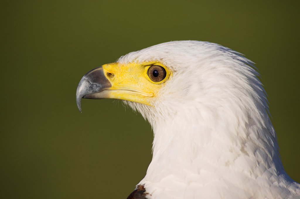Portrait of an African fish eagle : Stock Photo