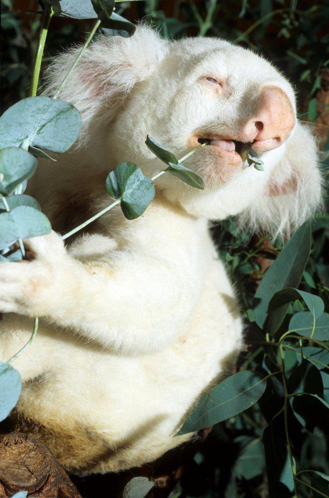 Albino koala eating Zoo of San Diego USA : Stock Photo