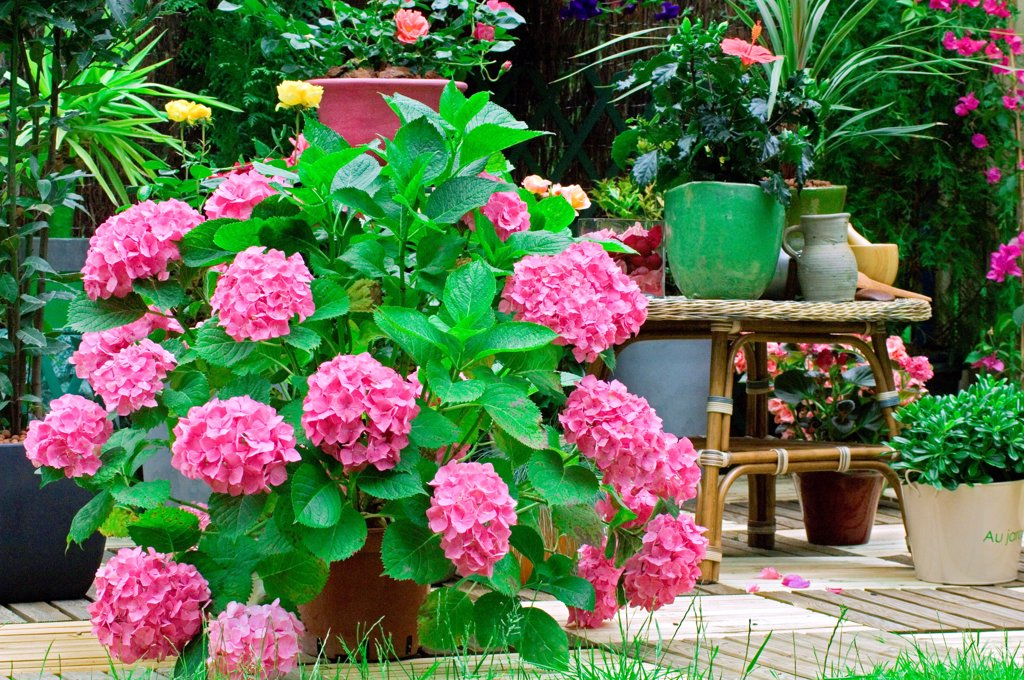 Stock Photo: 4413-26675 Hydrangea on a garden terrace