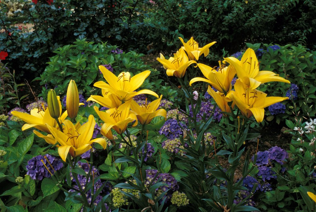 "Stock Photo: 4413-26999 Yellow lilies ""Renaudies"" in flowers France"