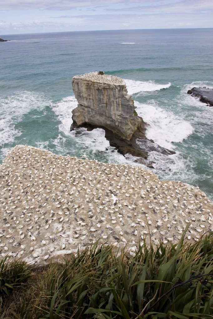 Stock Photo: 4413-27372 Nesting gannets at Muriwai gannet colony near Auckland
