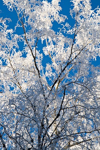 White frost covered trees Regional natural reserve of Morvan : Stock Photo