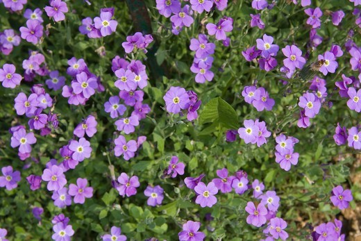 "Aubrieta """"Blue King"""" France : Stock Photo"