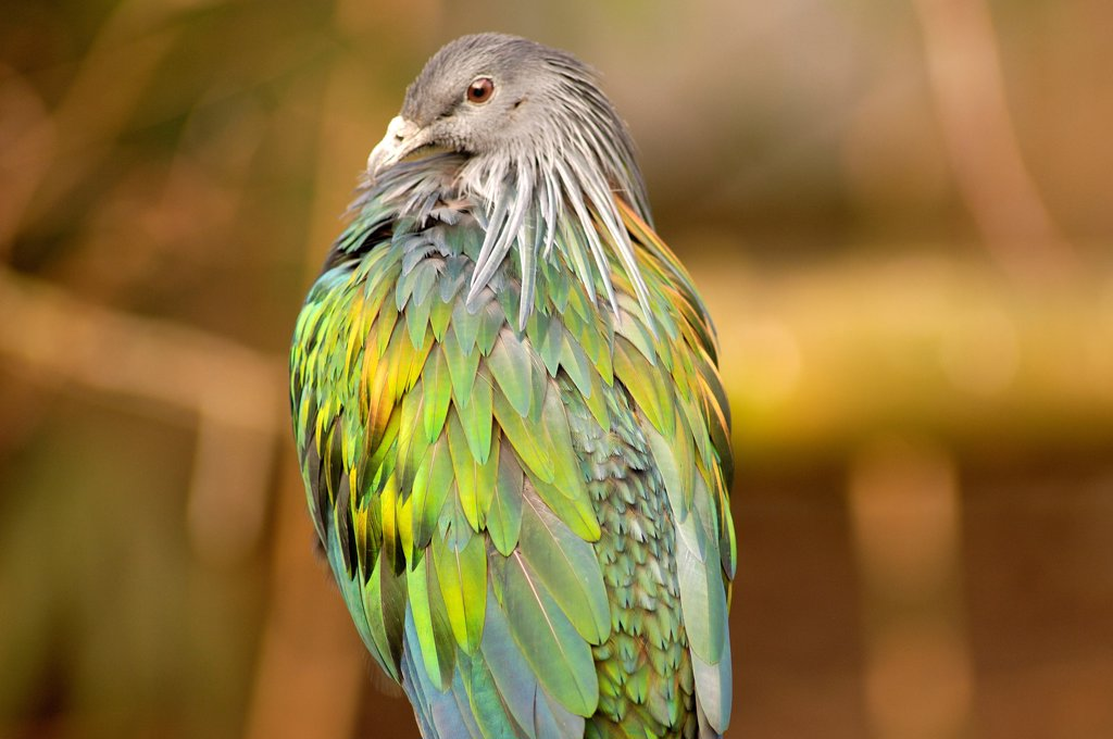 Nicobar Pigeon Zoo of Mulhouse France : Stock Photo
