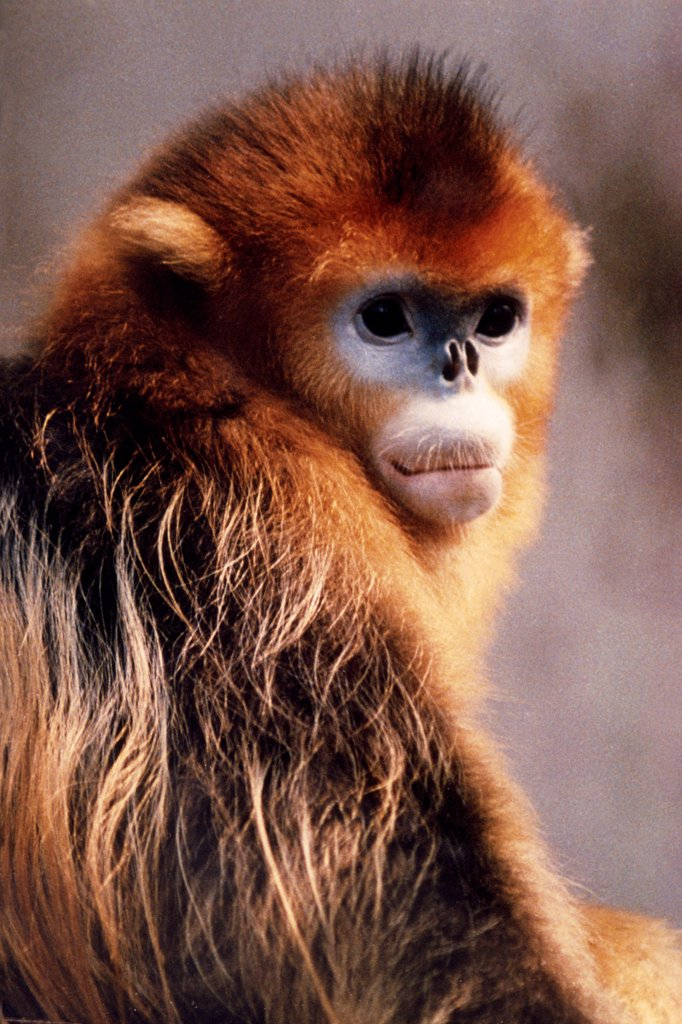 Stock Photo: 4413-2895 Golden Snub-nosed Monkey China