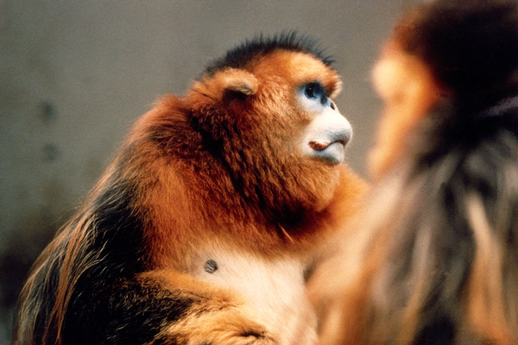 Stock Photo: 4413-2902 Golden Snub-nosed Monkey China