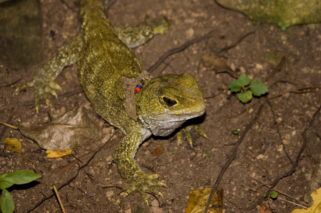 Stock Photo: 4413-29400 Tuatara lizard with a collar Karori Wildlife Sanctuary