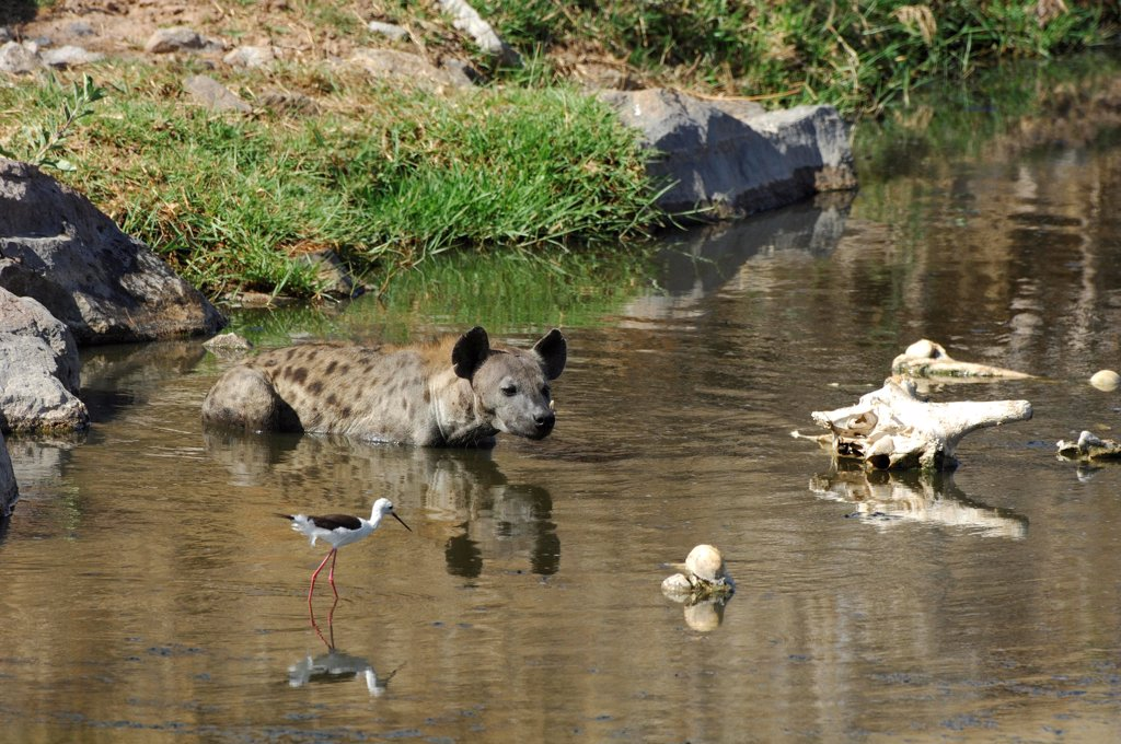 Speckled hyena swimming in the Ruaha river Tanzania : Stock Photo