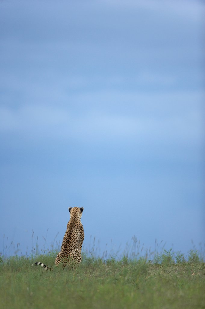 Young Cheetah 6 months old in savana Masai Mara Kenya : Stock Photo
