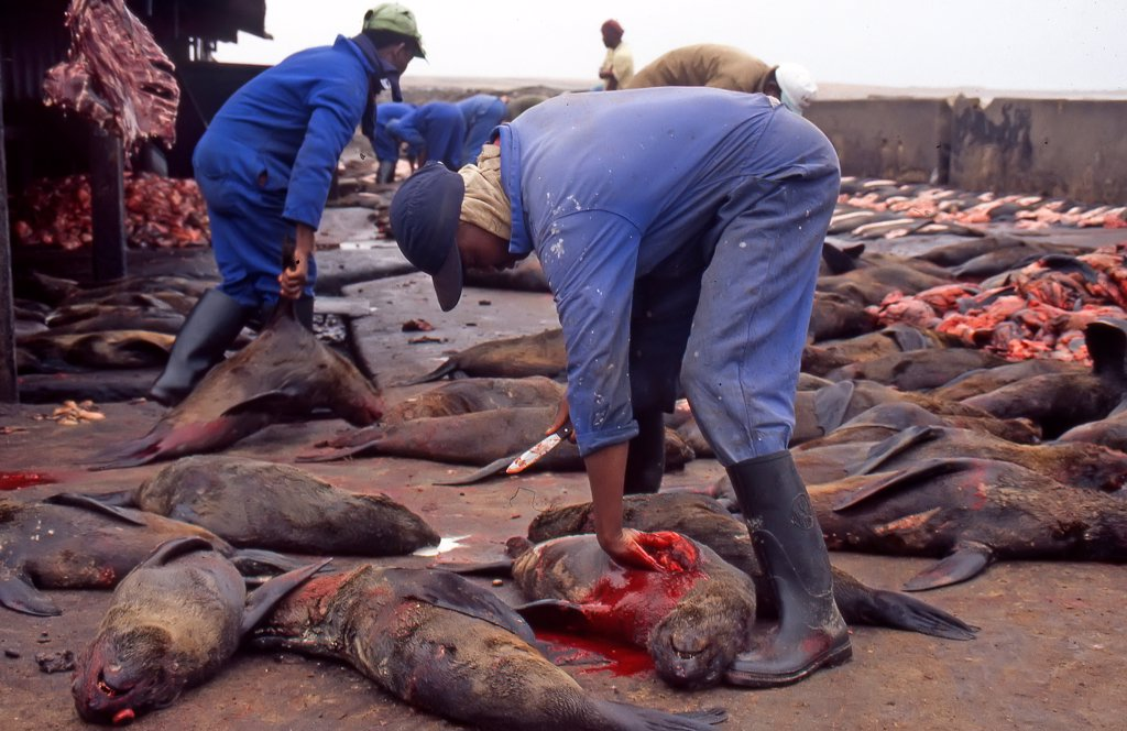 Extraction of heart in the massacre of Cape fur Seal Namibia : Stock Photo