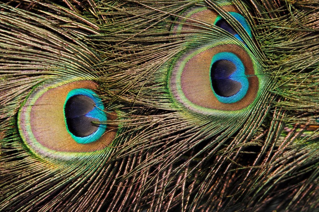 Stock Photo: 4413-30027 Ocellus of feathers of a male Indian Peafowl Yonne France