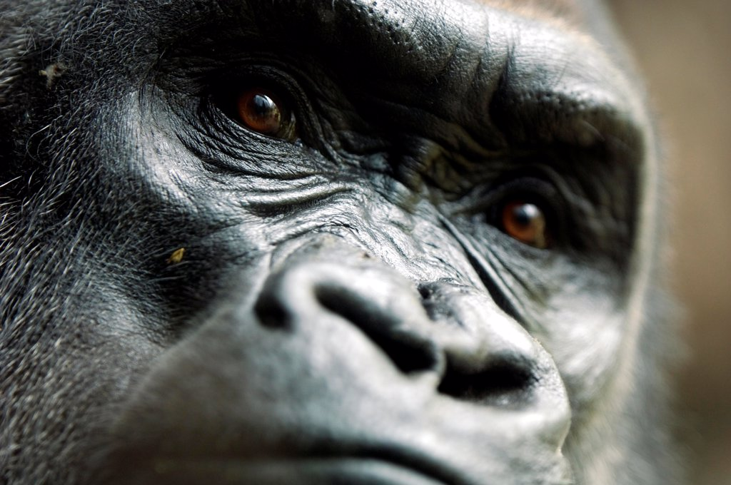 Face of a Western lowland gorilla in the Bronx Zoo New York : Stock Photo