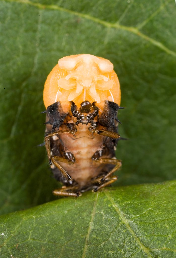 Metamorphosis of a Ladybug larvae in nymph France : Stock Photo