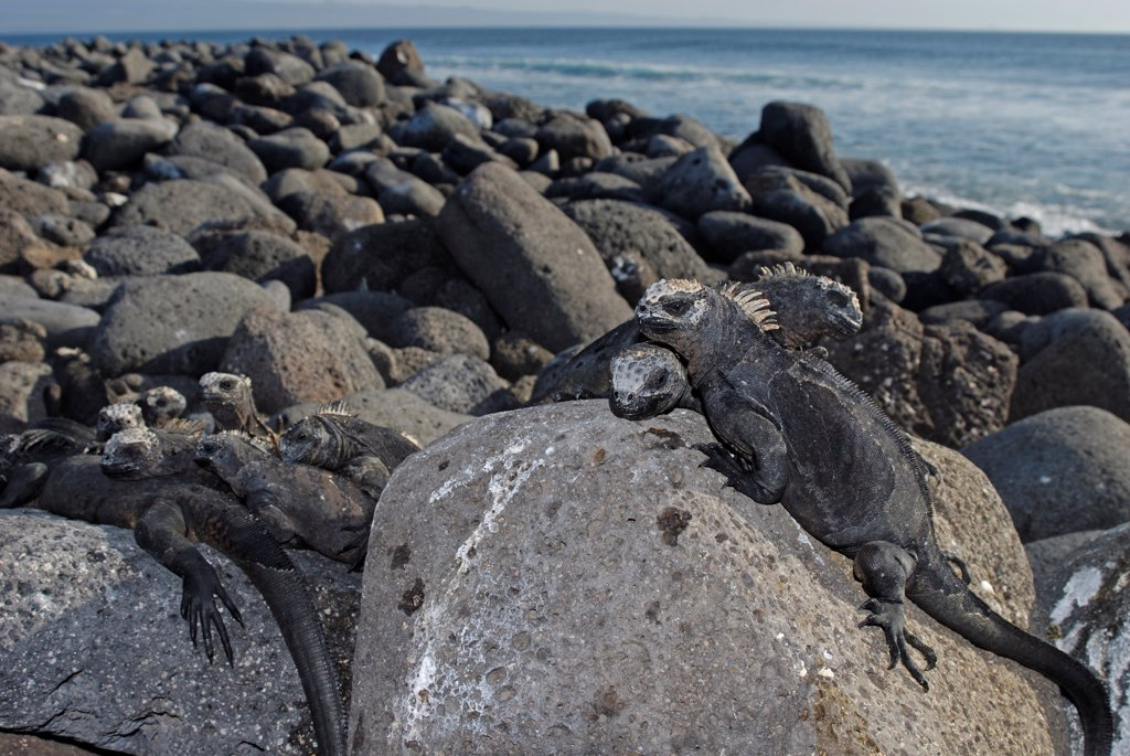 Stock Photo: 4413-30419 Marine Iguanas warming itself on rocks Galapagos