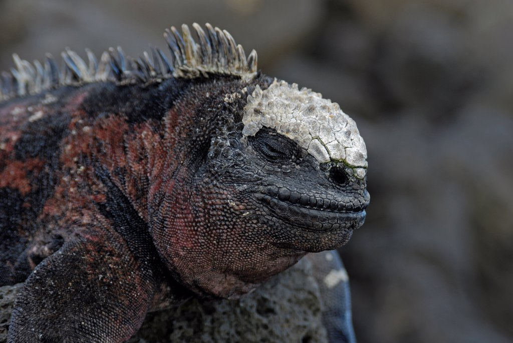 Stock Photo: 4413-30475 Marine Iguana warming itself on lava rock Galapagos
