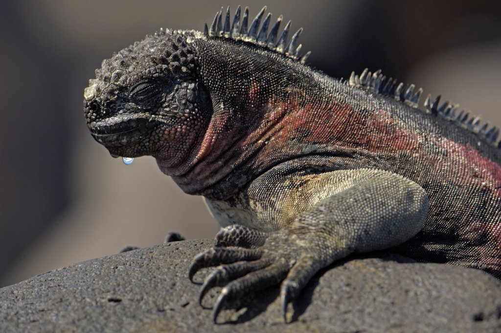 Stock Photo: 4413-30649 Marine Iguanas warming theirself at sun Galapagos