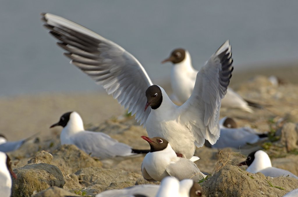 Stock Photo: 4413-31023 Mating of Black-headed Gull Baie de Somme France