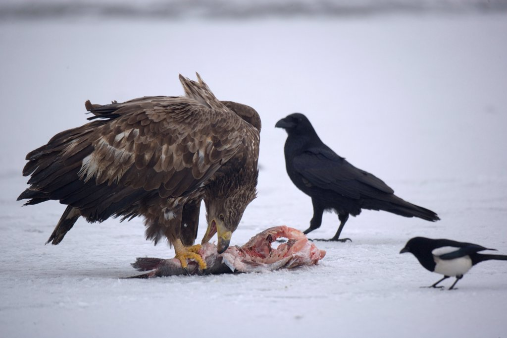 Stock Photo: 4413-31091 White-tailed Eagle on the floor eating a fish