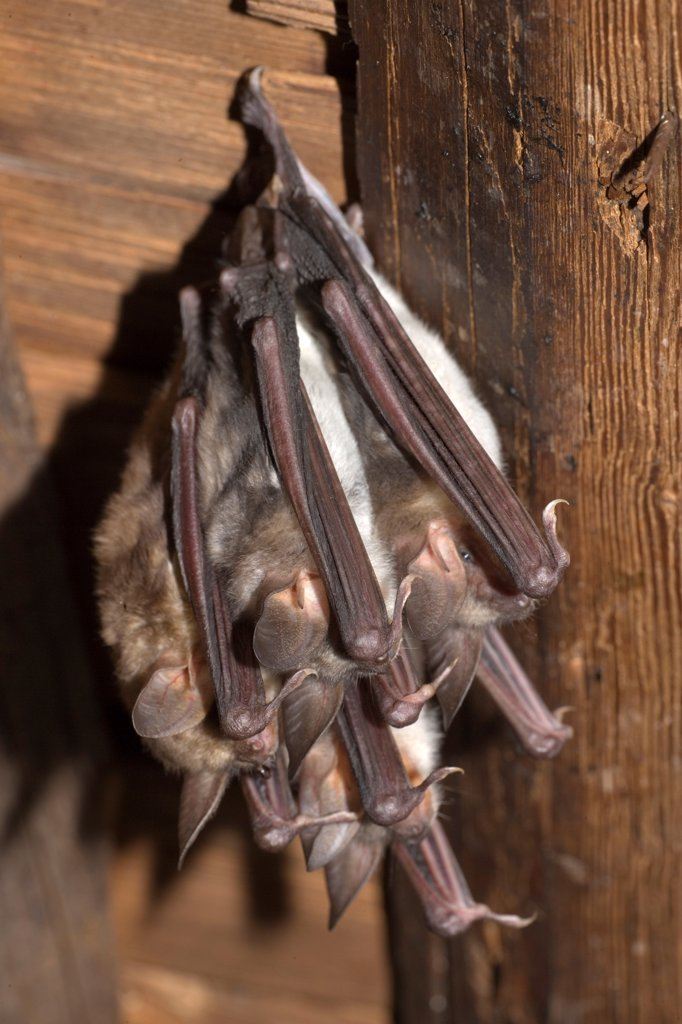 Mouse-eared Bats sleeping hanged from ceiling : Stock Photo