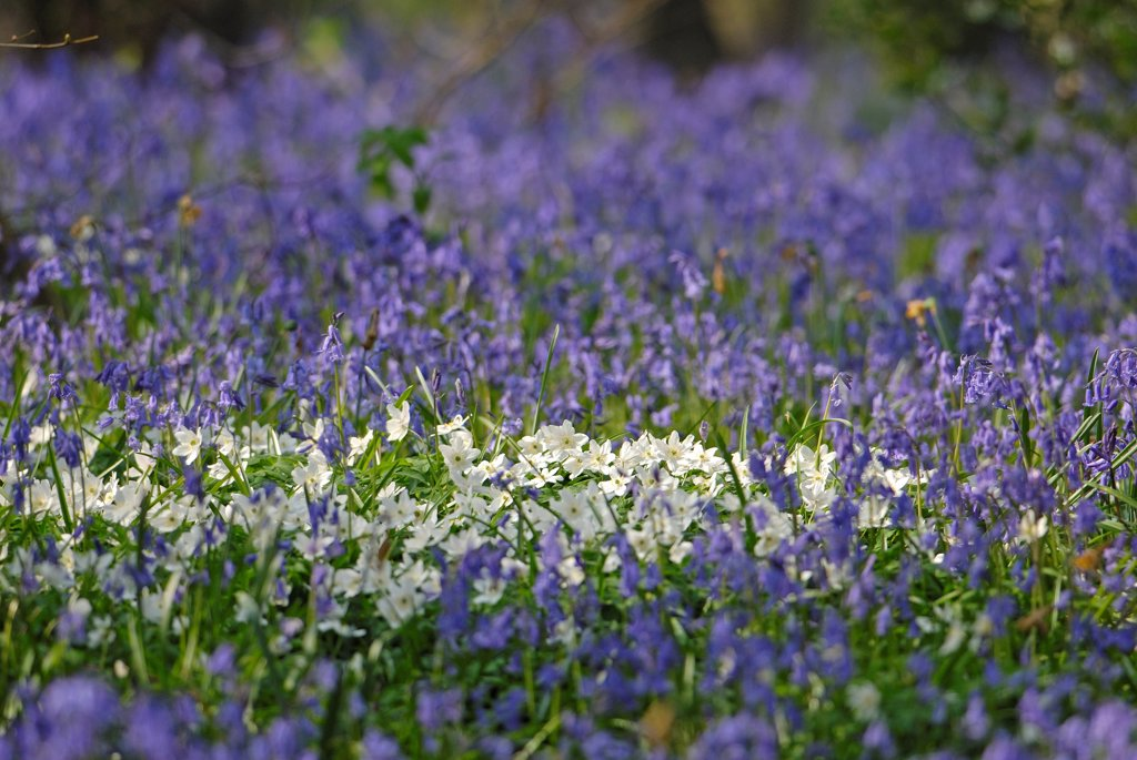 Stock Photo: 4413-31170 Carpet of Bluebells and European thimbleweeds France