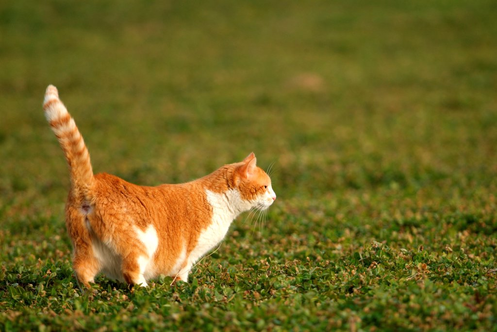 Russet-red cat and white going in grass : Stock Photo