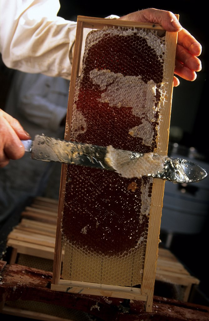 Stock Photo: 4413-3363 Beekeeper uncapping a frame Ouessant island Bretagne
