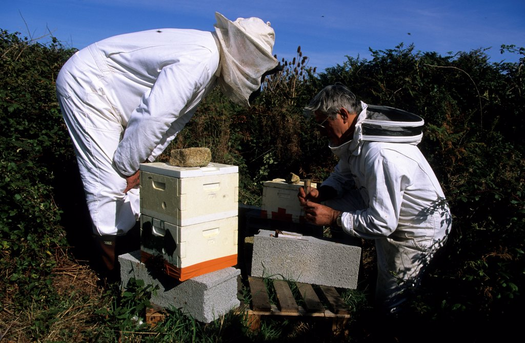 Stock Photo: 4413-3387 Selection of queens at the conservancy apiary of Ouessant