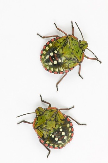 Stock Photo: 4413-34781 Southern Green Stink Bug larvae in studio