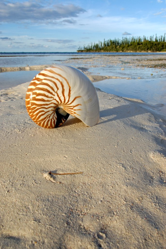 Stock Photo: 4413-34955 Shell of Bellybutton nautilus on the beach Isle of Pines