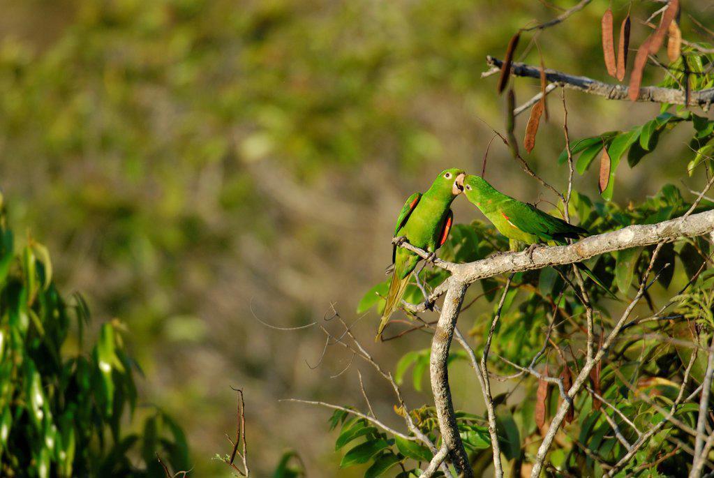 White-eyed Parakeet Chapada dos Guimares Minas Gerais Brazil : Stock Photo