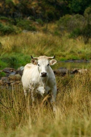 Stock Photo: 4413-35506 Cow beside the Loire Mont gerbier des joncs France