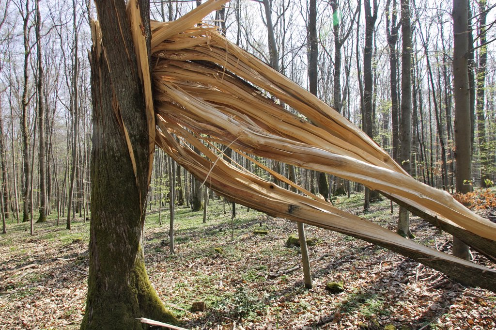 Stock Photo: 4413-35922 Beech stuck by lightning in the Vosgean forest Alsace