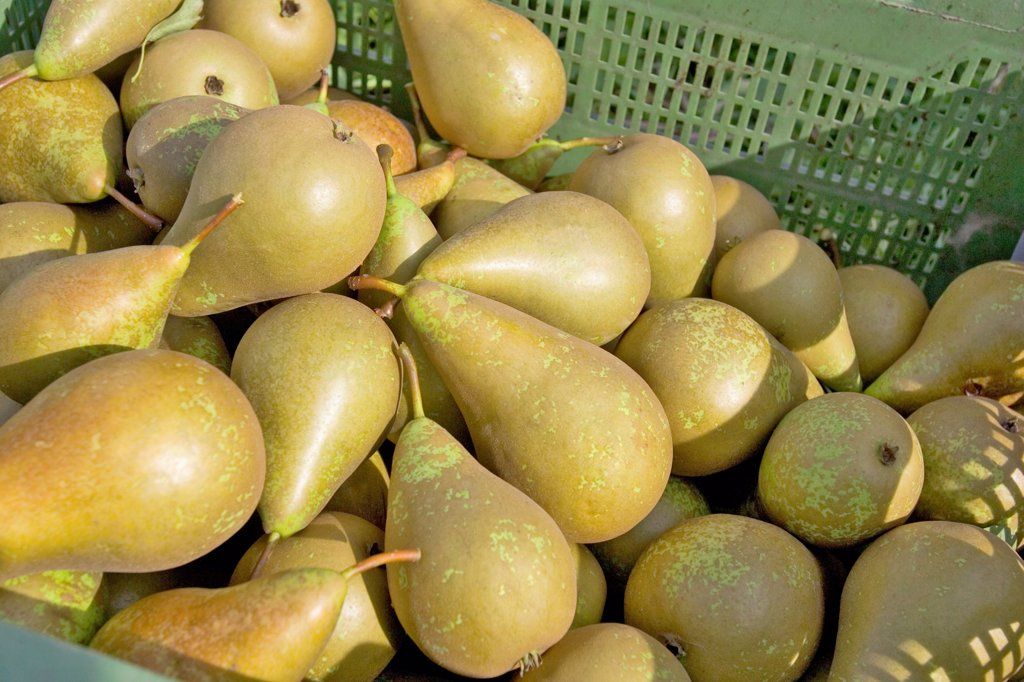 Stock Photo: 4413-3759 Tray of Pears 'conference' France