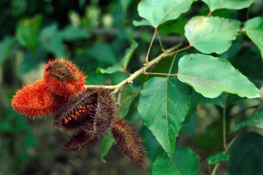 Fruits of Lipsticktree Sierpe Costa Rica : Stock Photo